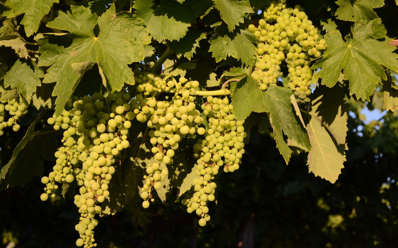 livingincognac-grapes-in-august