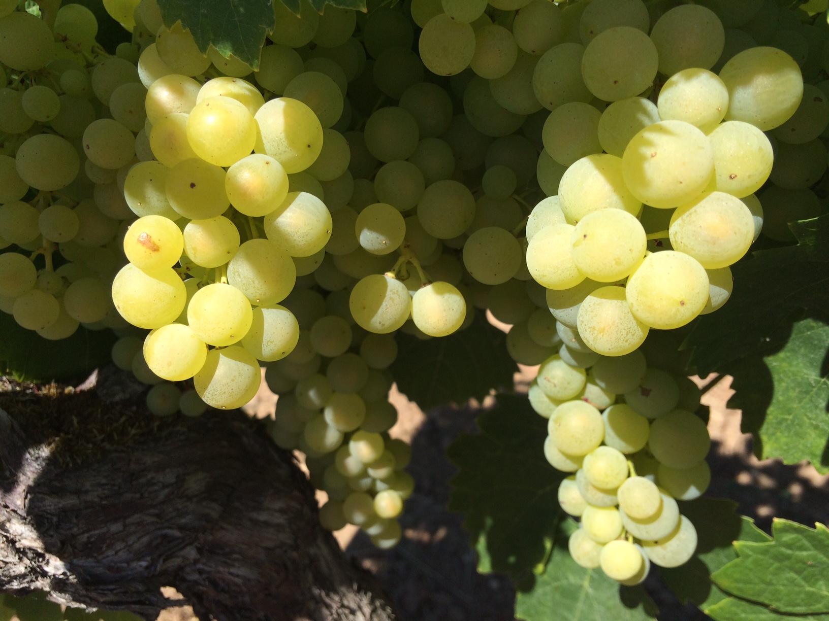 livingincognac-cognac-vineyards