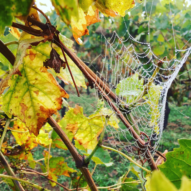 livingincognac-2016-octobre-vignes-6