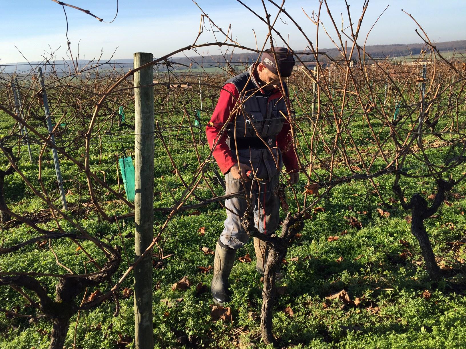 livingincognac 2016 - pruning