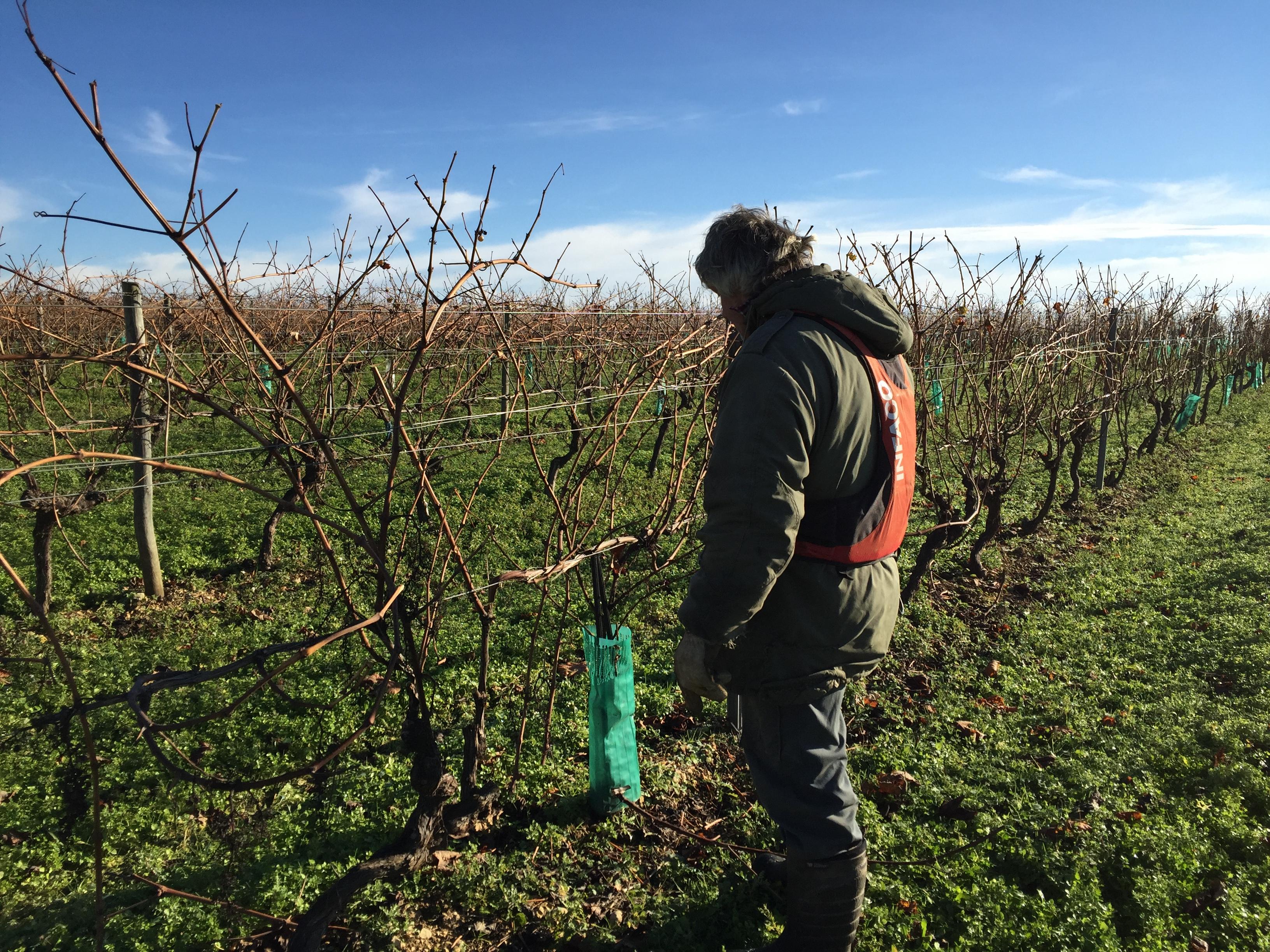 livingincognac - taille vigne