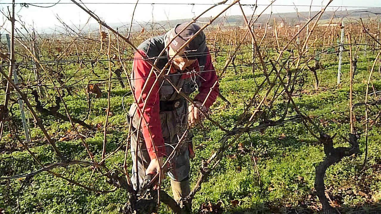 livingincognac 2017 taille de la vigne