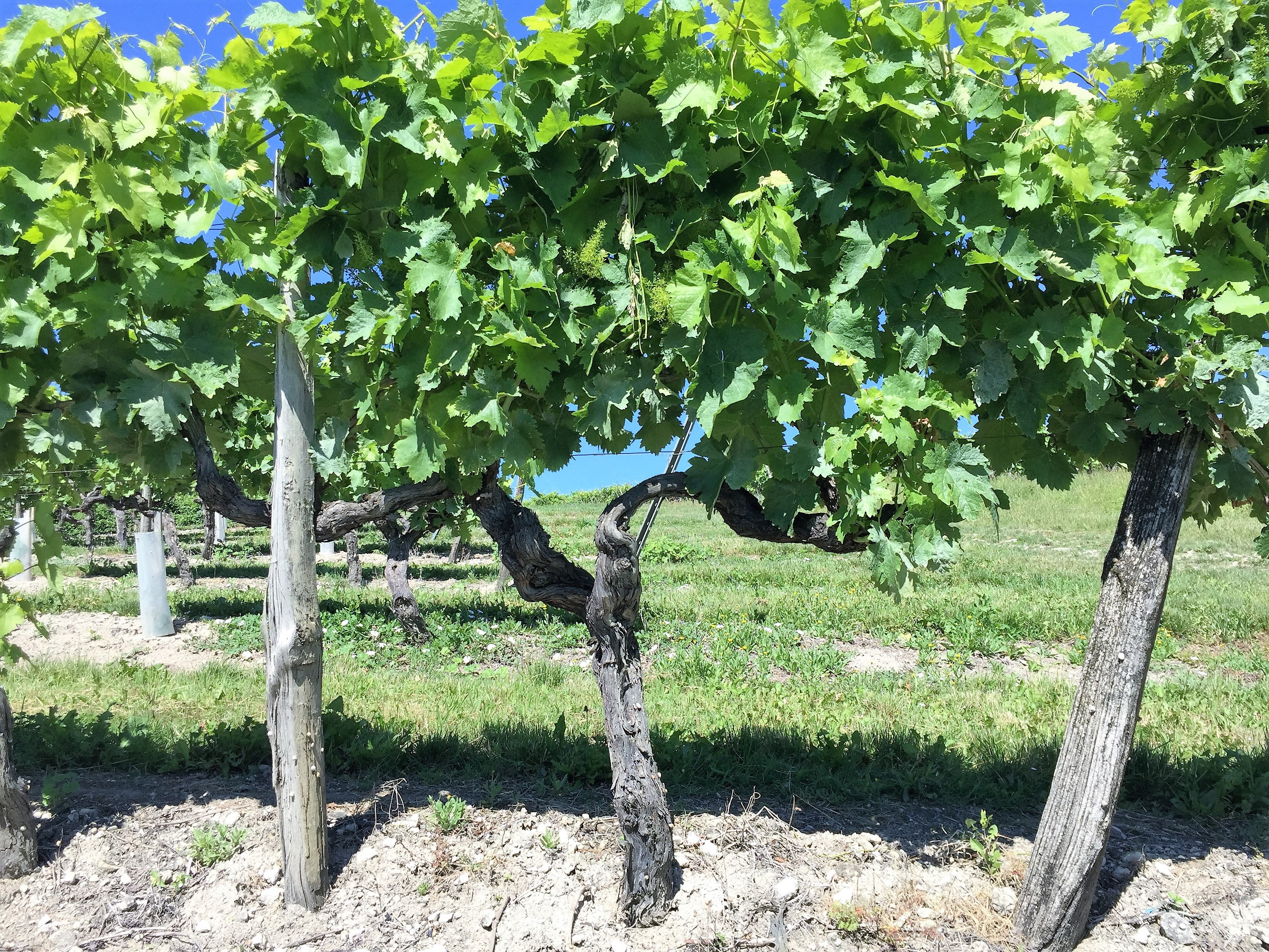 living-in-cognac terroir