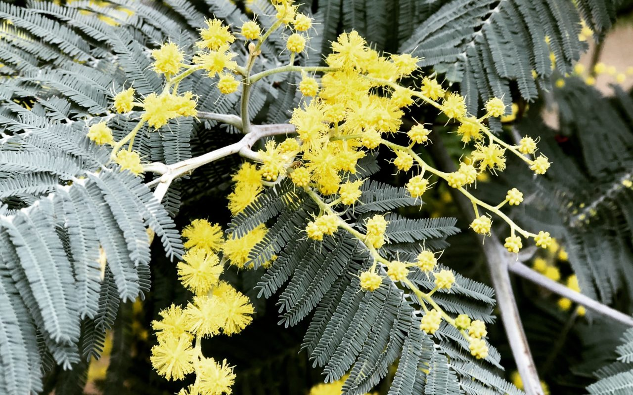 livingincognac mimosa