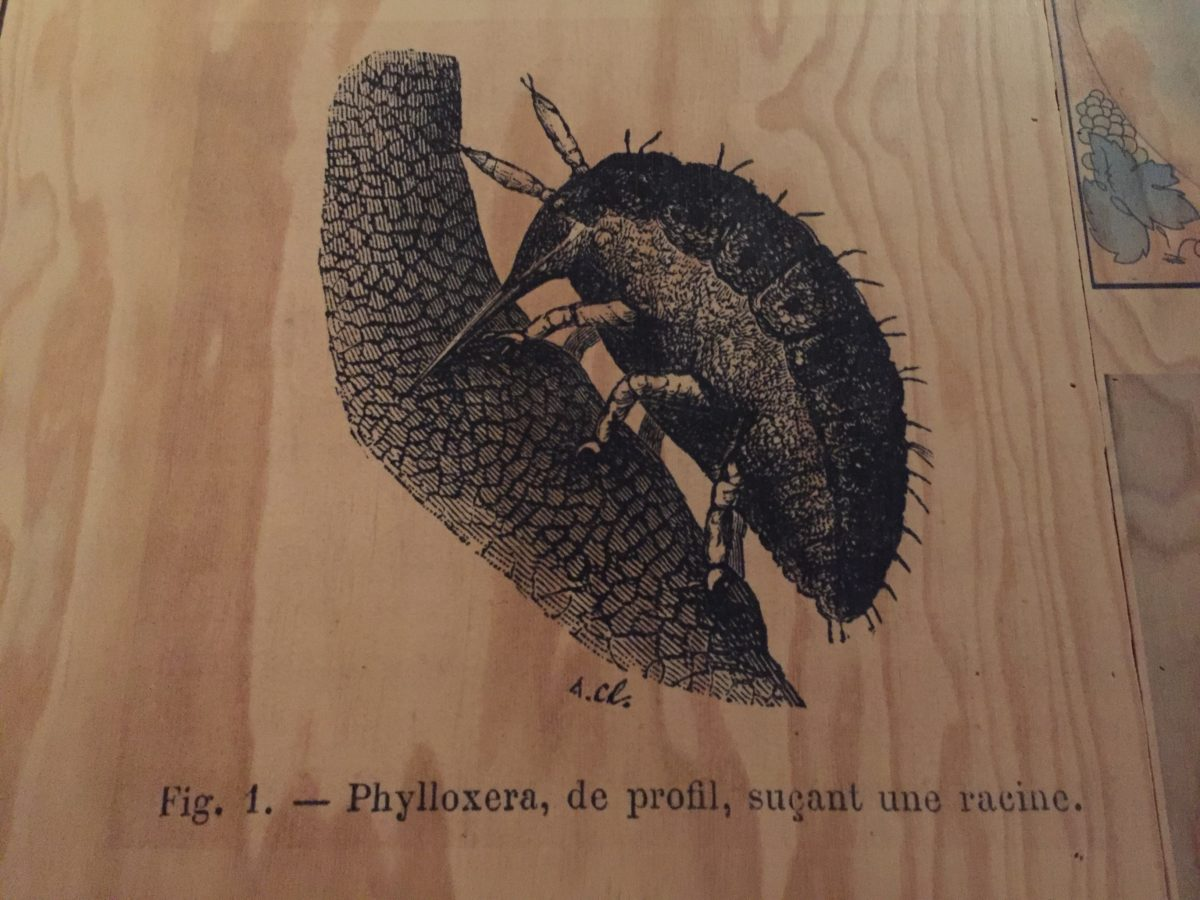 livingincognac phylloxera