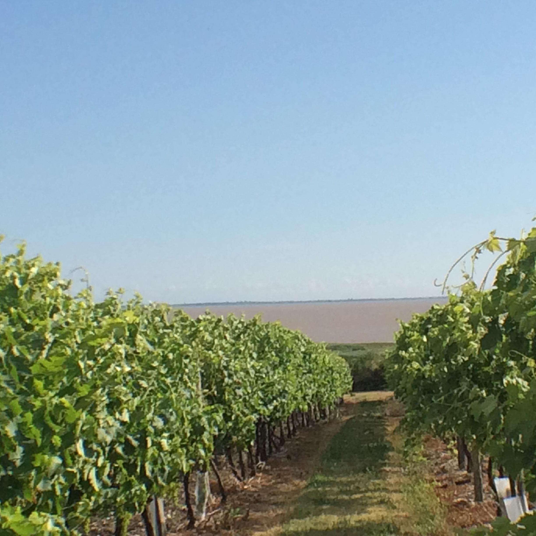 les vignes de cognac font face à celle du médoc dans l'estuaire de la gironde
