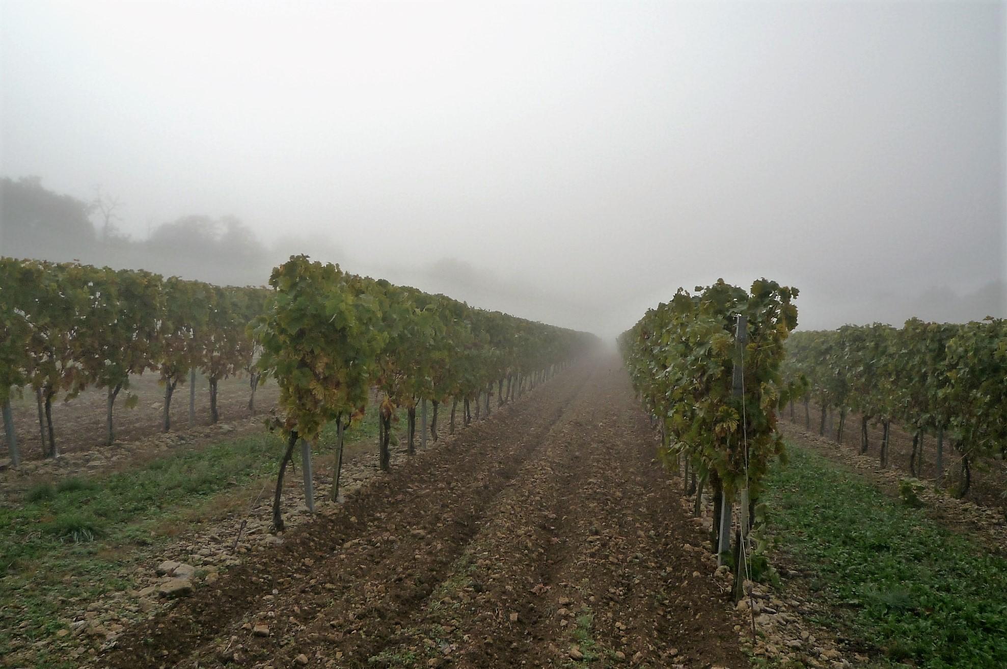 livingincognac 2016 vignes dans le brouillard