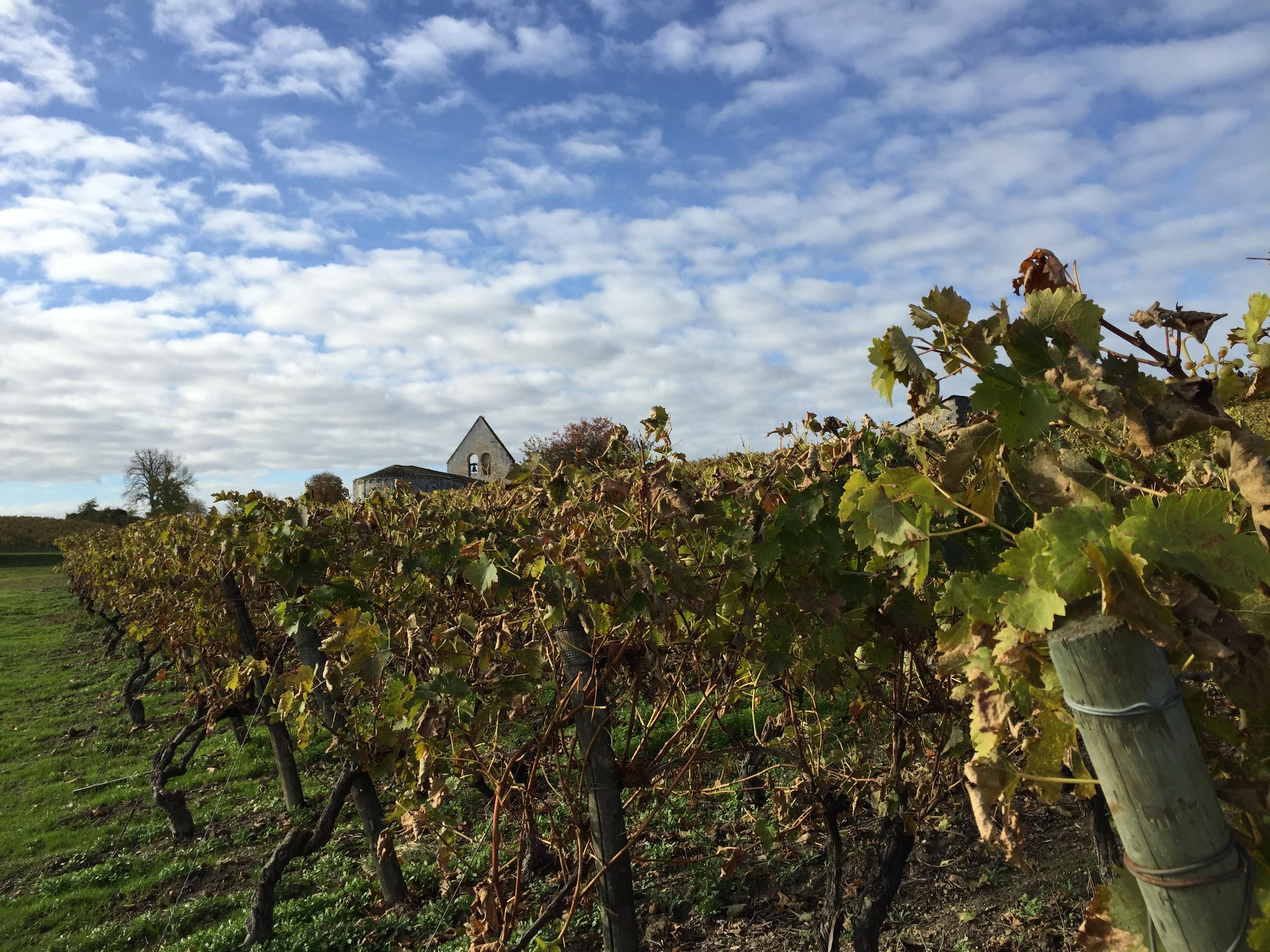 livingincognac-2016-autumn-in-vineyard