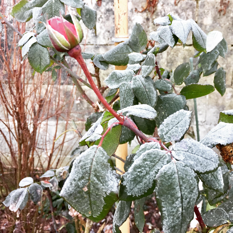 livingincognac - rose - garden