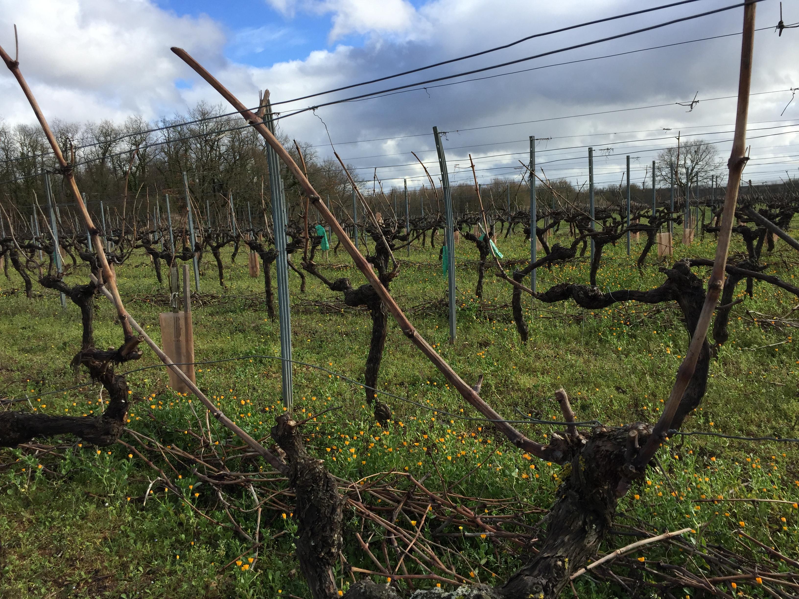 livingincognac 2017 pruning