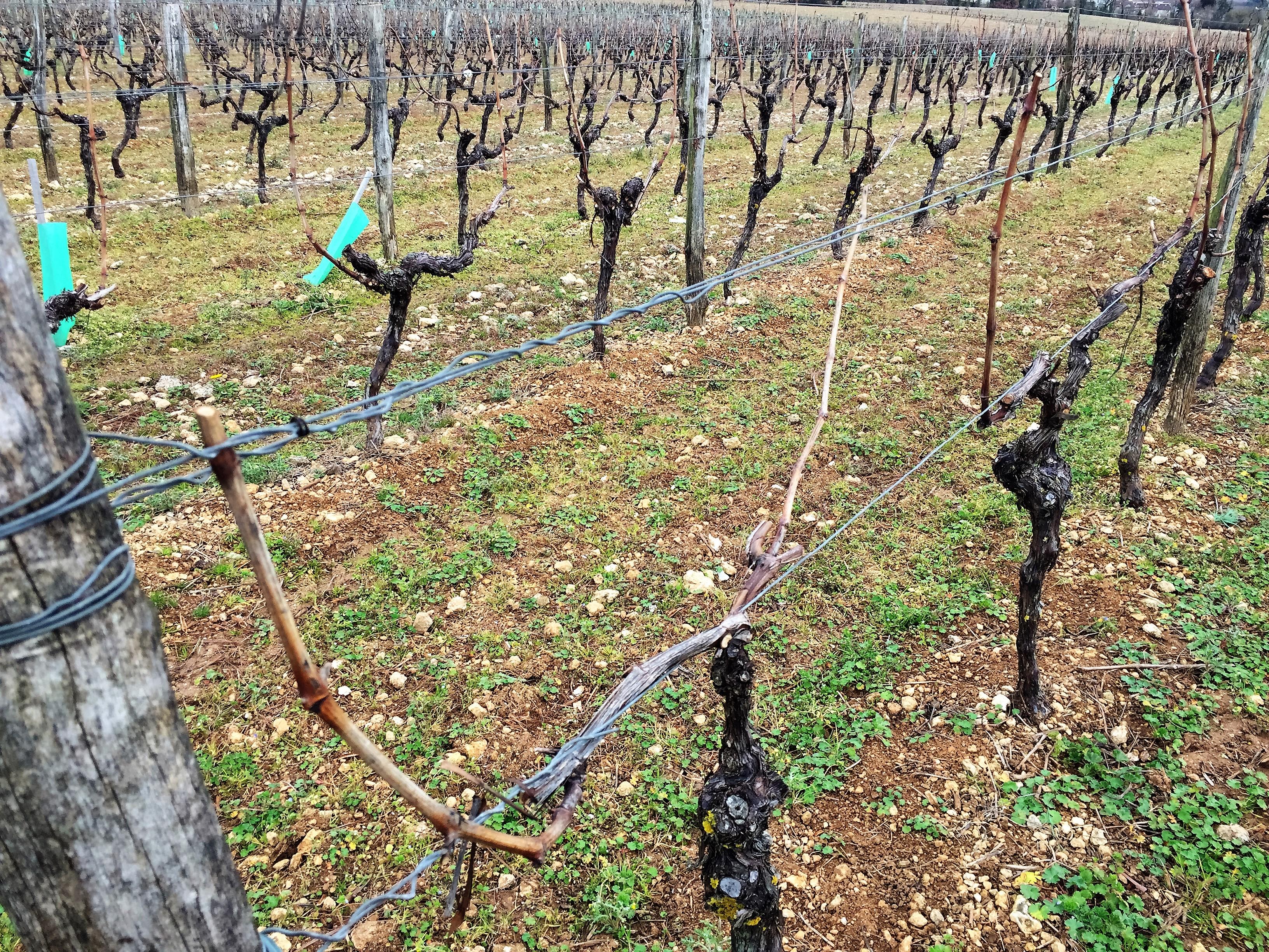 livingincognac pruning (2)