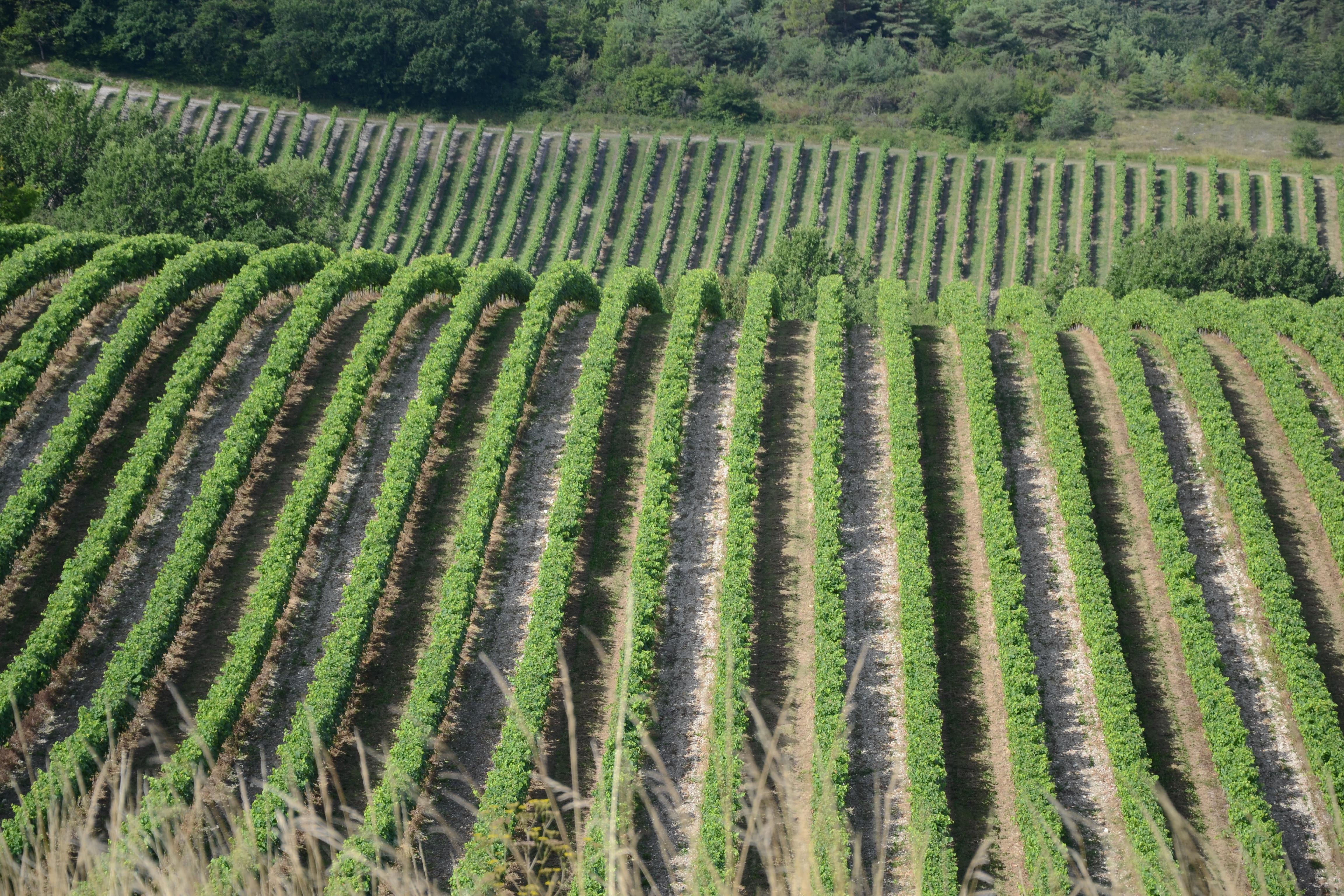 paysage du cru de grande champagne de cognac