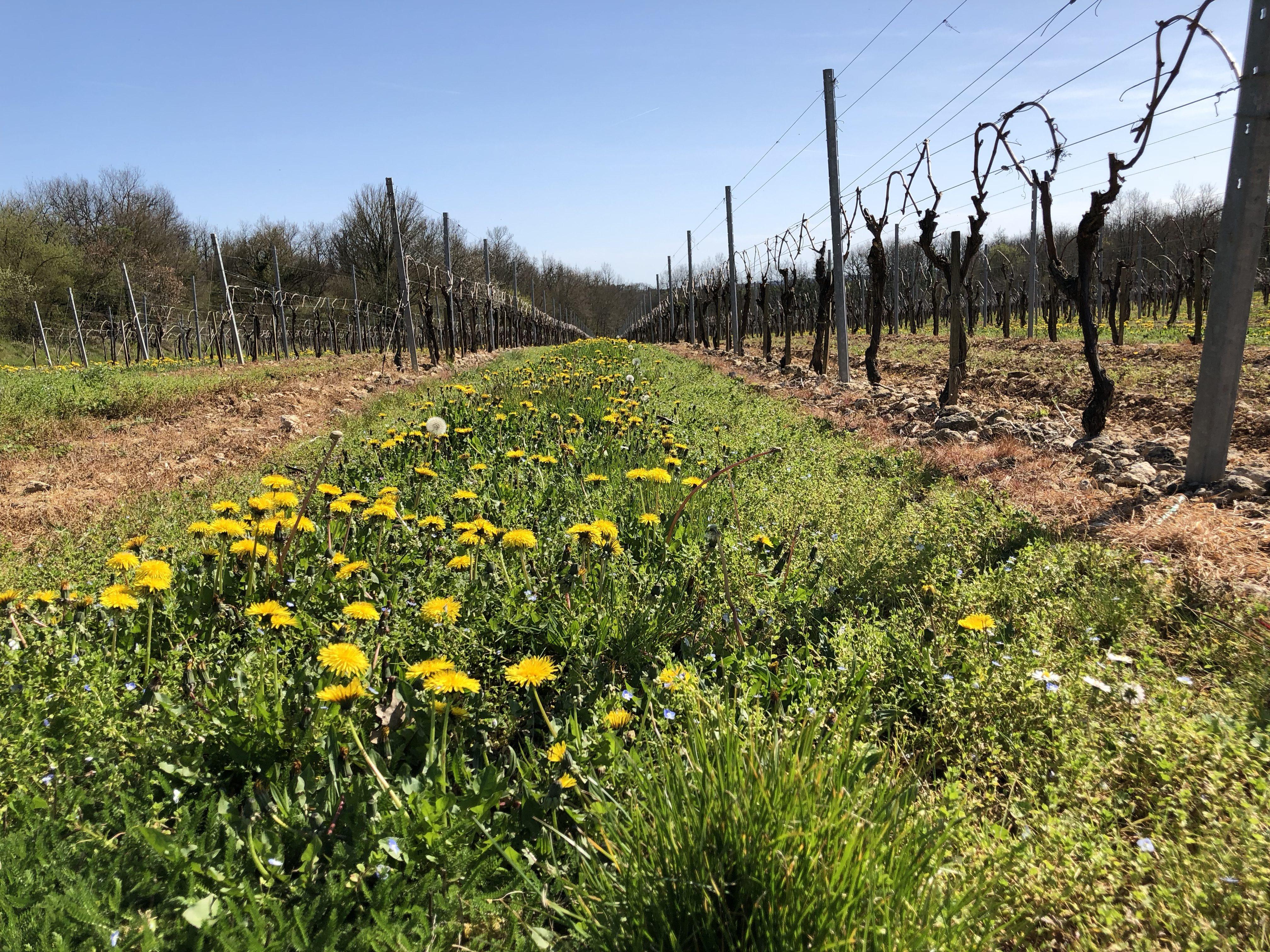 living in cognac viticulture durable