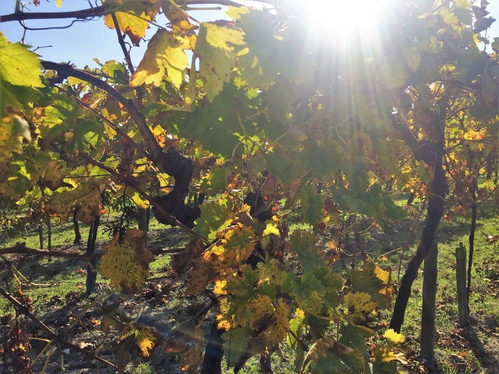 living-in-cognac-automne-vigne