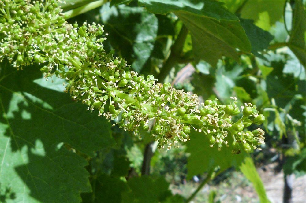 living-in-cognac-fleur-de-vigne