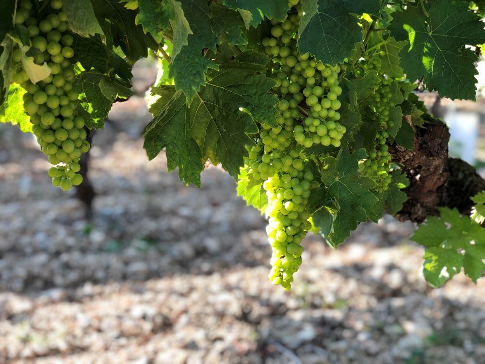 living-in-cognac-nouaison-vigne