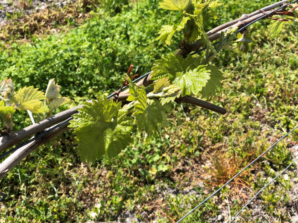 living-in-cognac-vigne