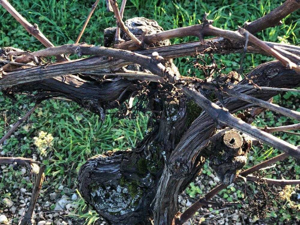 living-in-cognac-vigne-hiver