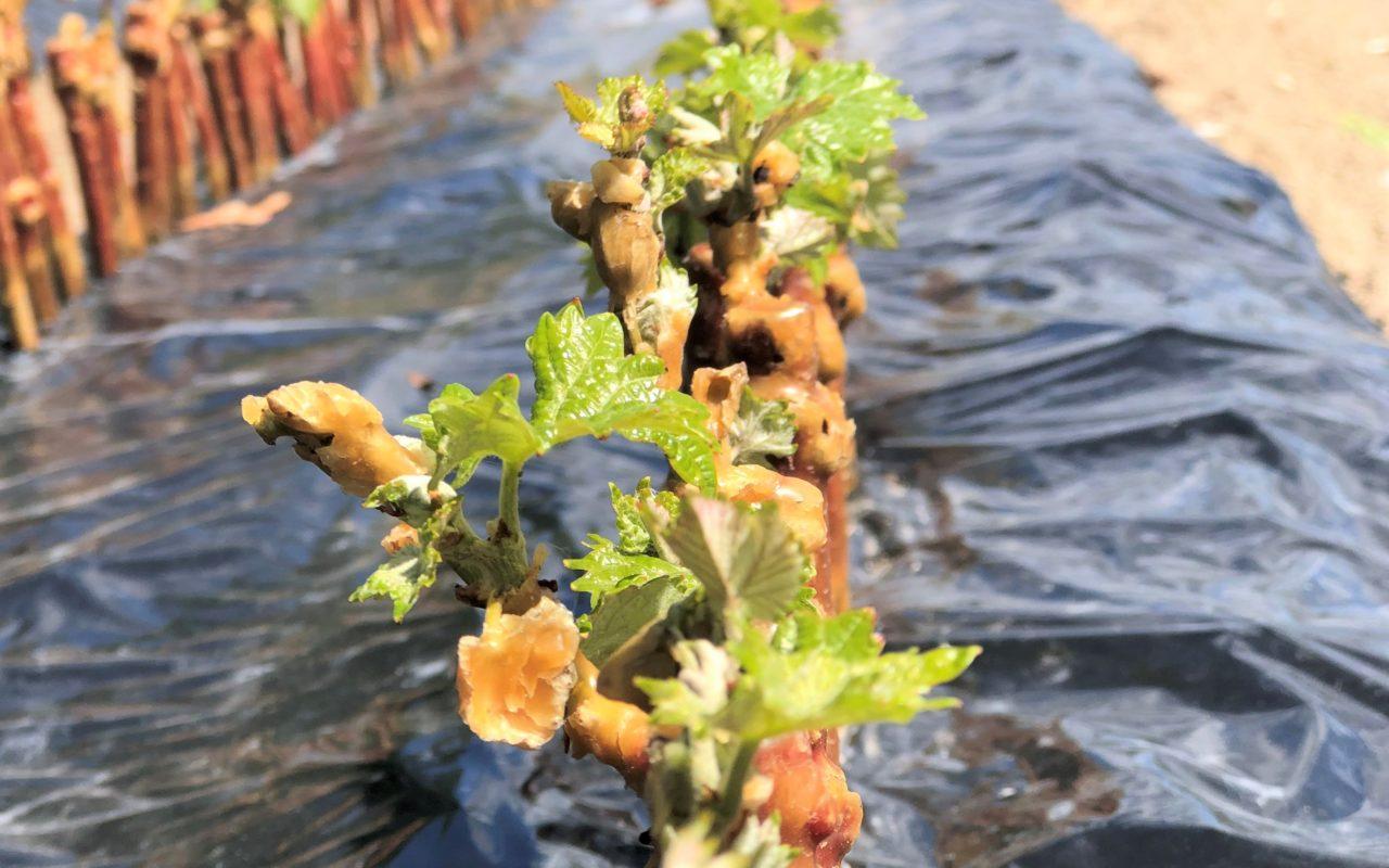 naissance des plants de vigne