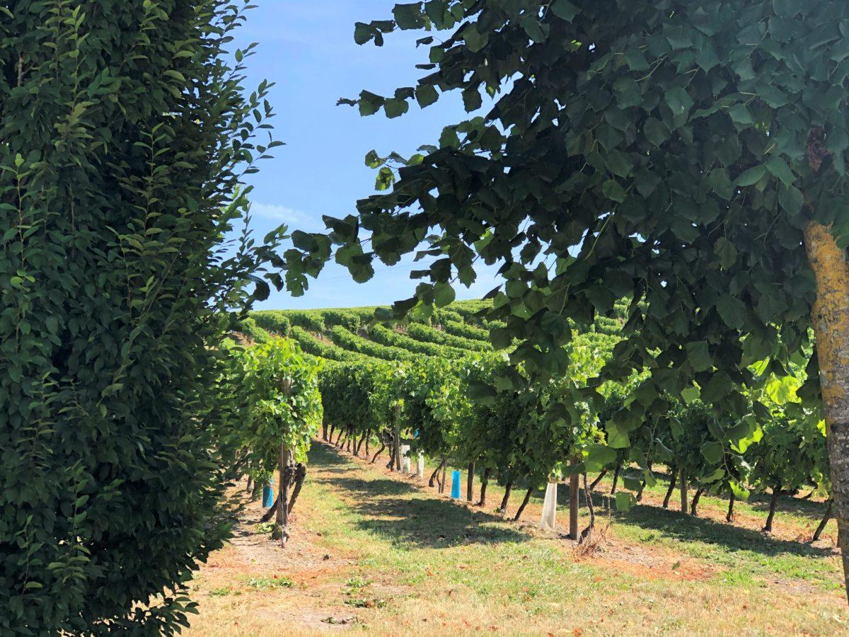 les vignes de cognac en plein été