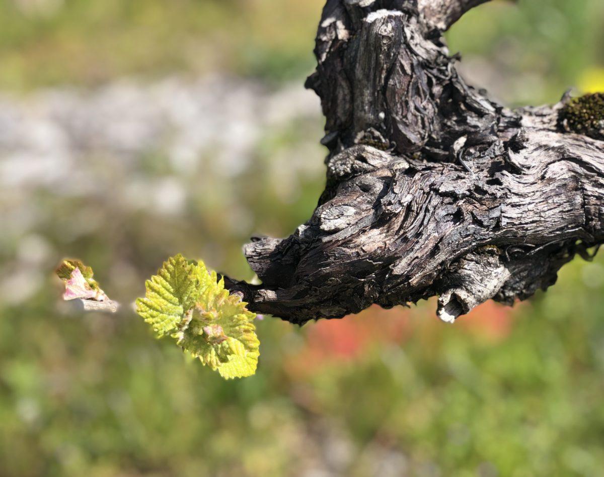le débourrement dans les vignes de cognac