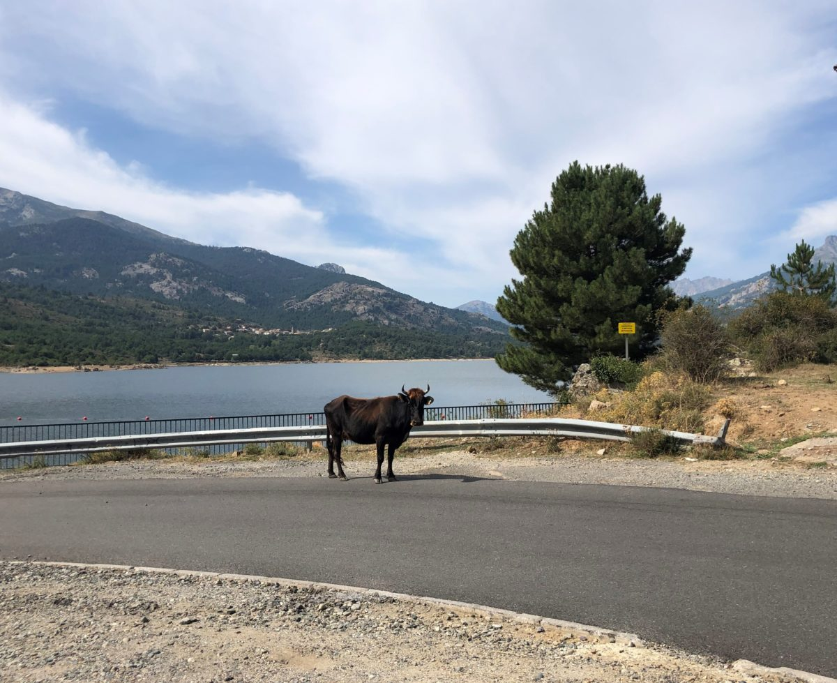 vache sur une route corse