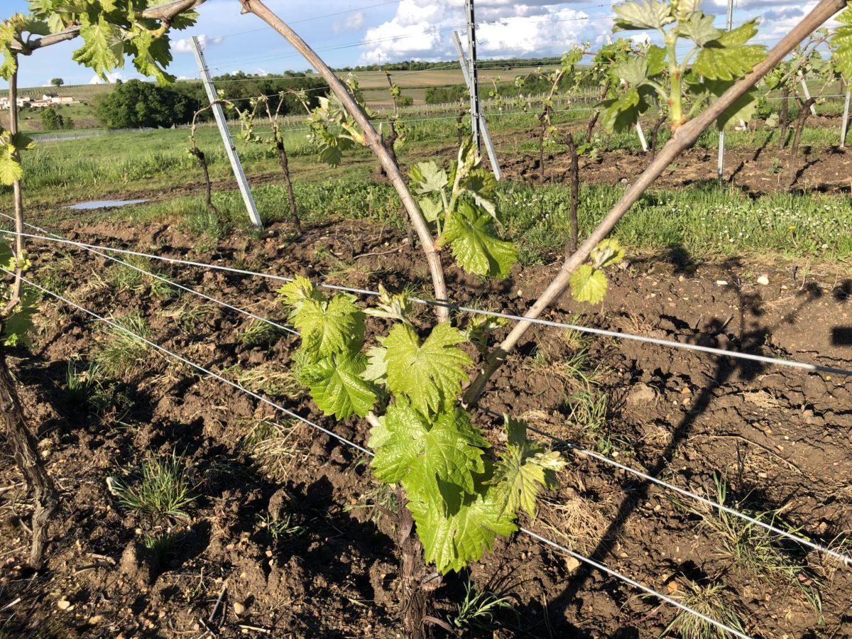 la vigne en juin suite à une météo un peu fraiche