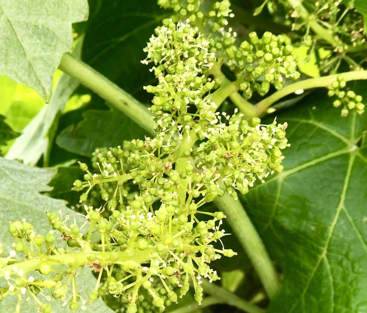 la fleur de vigne