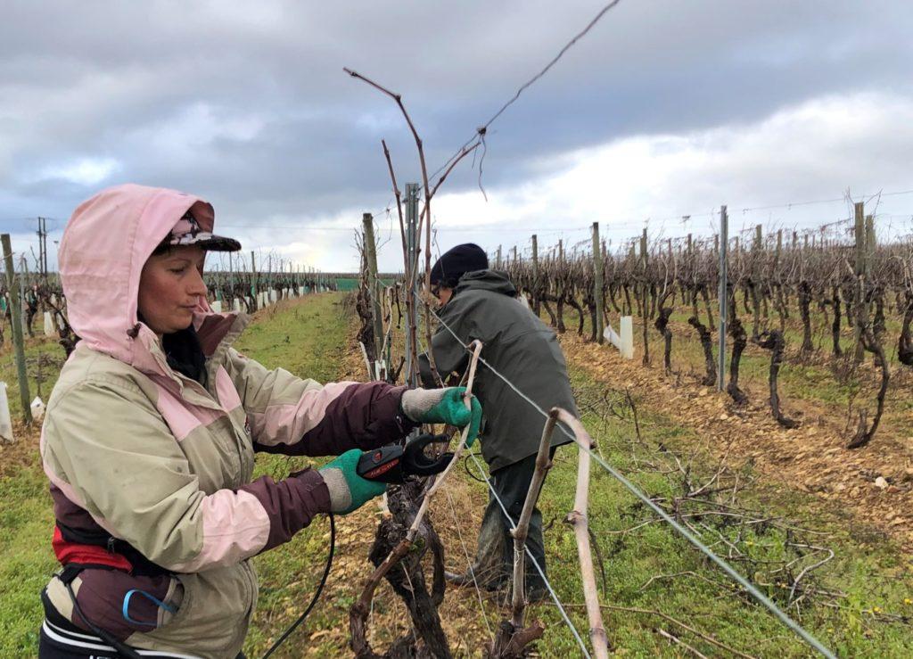 attachage de vignes en hiver