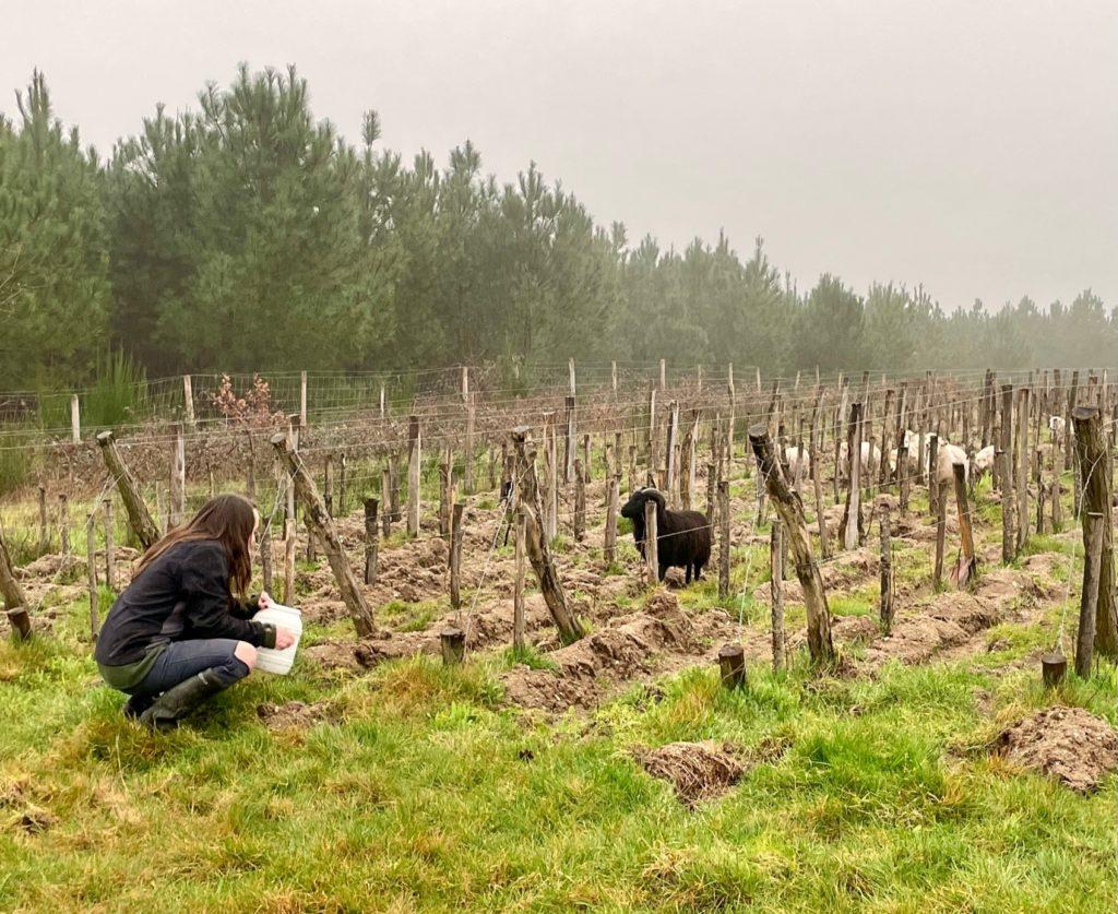 Juile et ses moutons dans les vignes de Rouill'Bouc