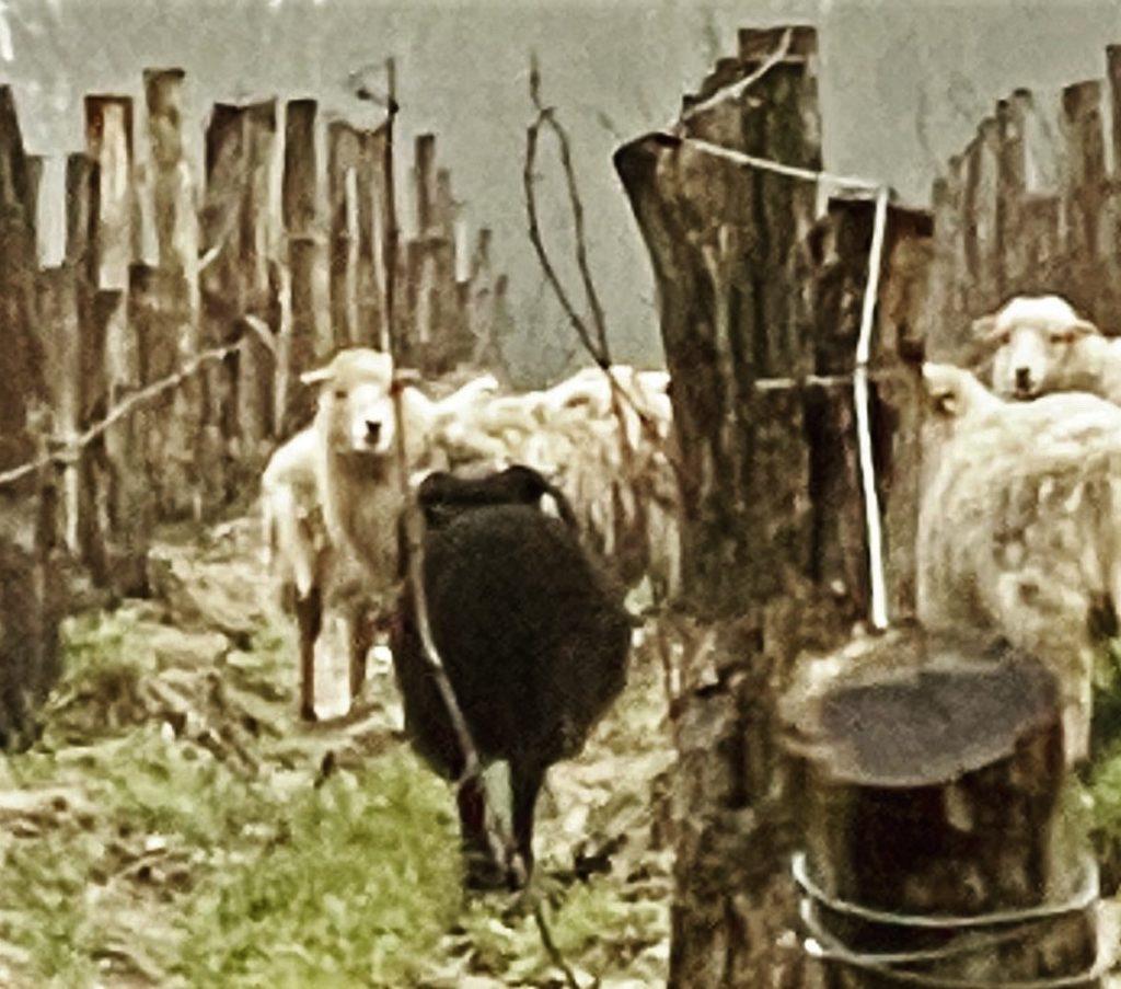 Les moutons des Tondeuses de Rouill'Bouc dans les vignes