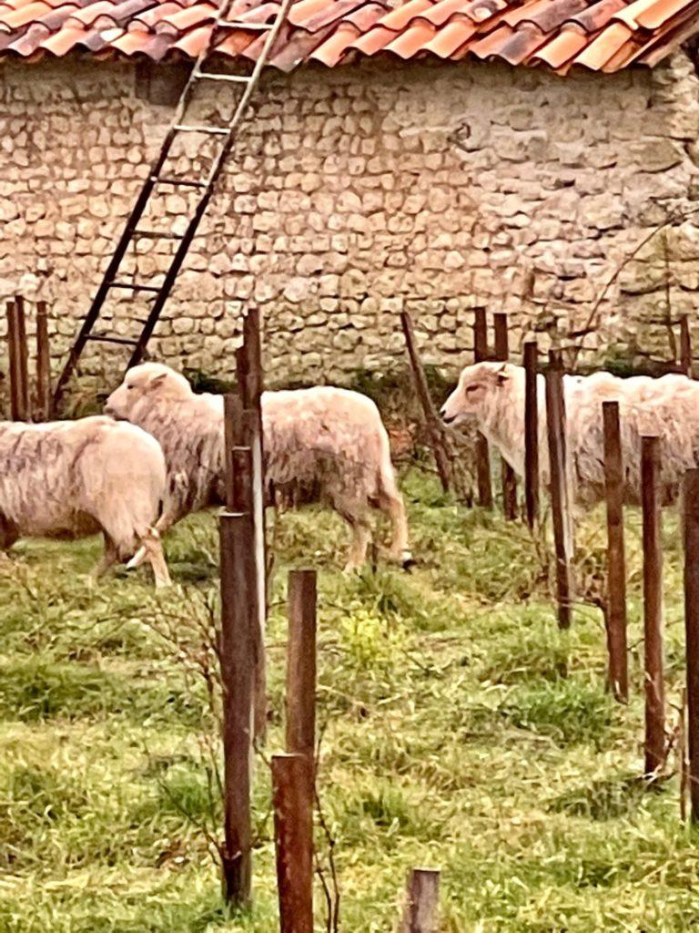 """les moutons de Rouill""""Bouc sous la pluie"""