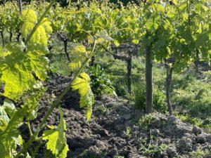 vignes de cognac au mois de mai